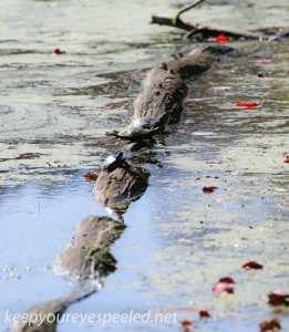 PPL  Wetlands turtle (1 of 1)