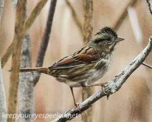 PPL Wetlands and Riverlands  sparrow 130 (1 of 1)