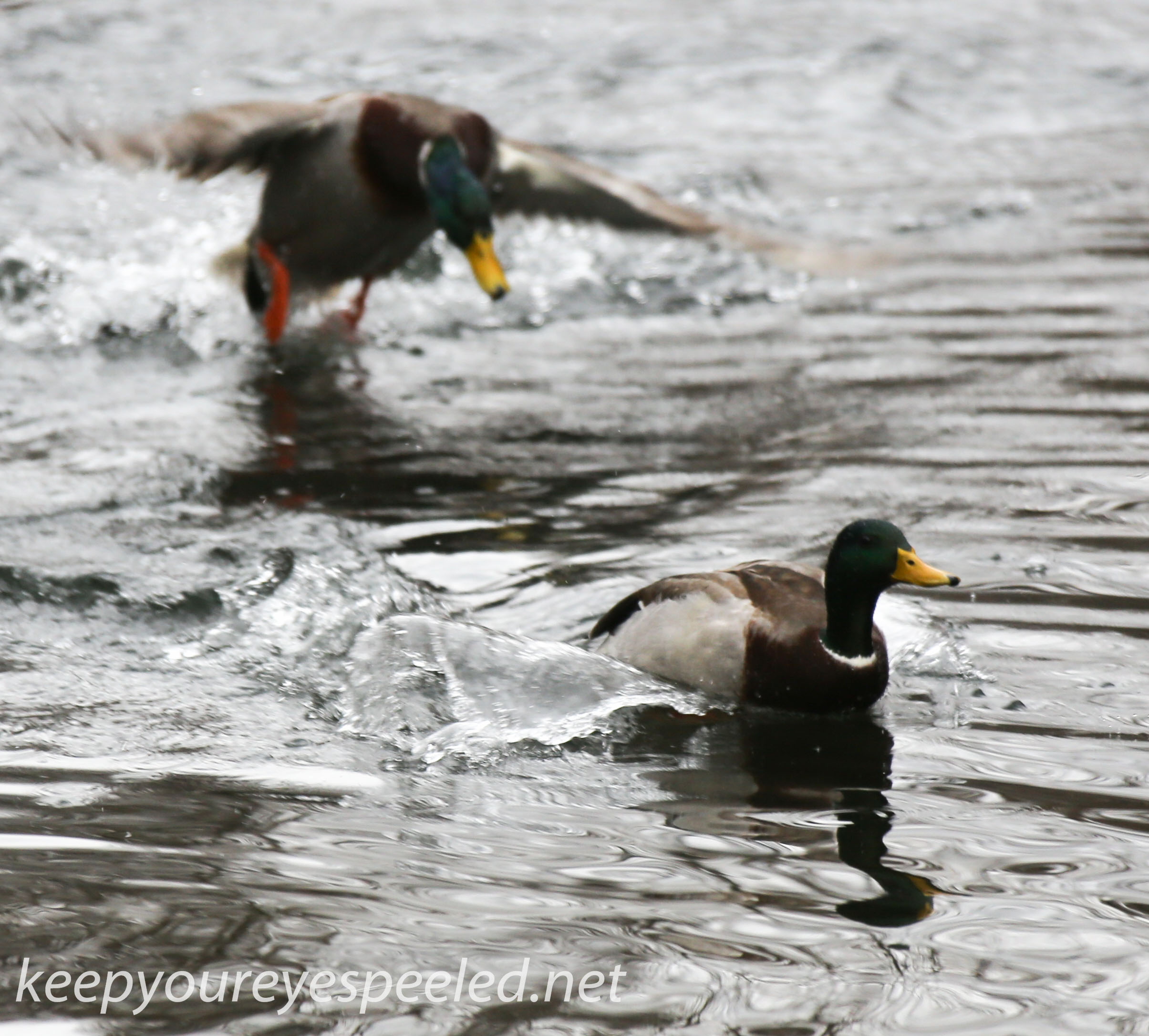 Open Water In January Means A Lot Of Ducks At The