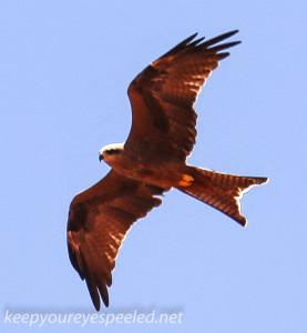 Desert Garden eagle -1