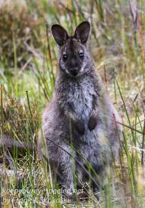 Tasmania Bruny Island wallaby -2