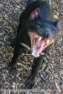 Tasmaninan Devil 16-1