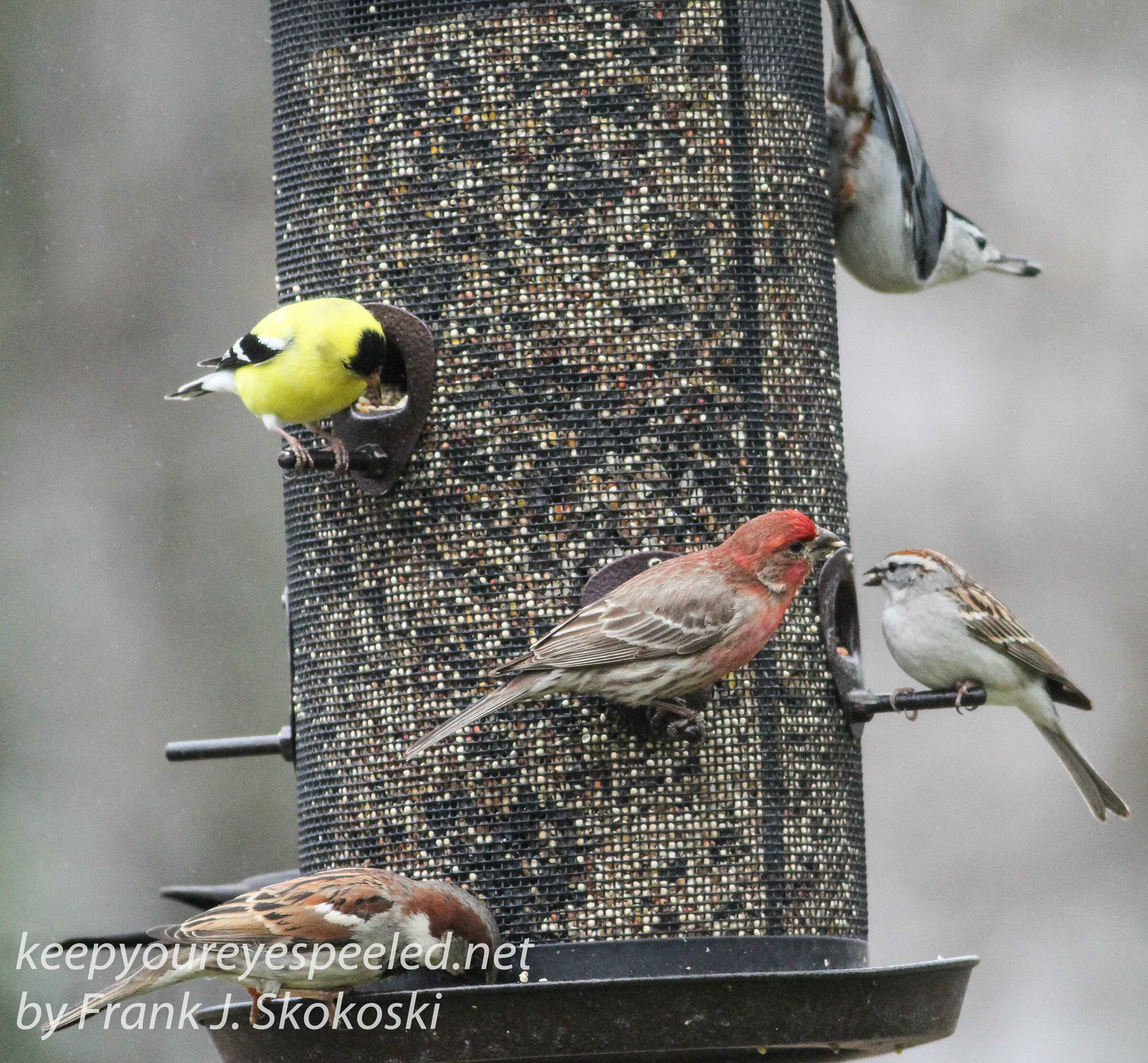 close to home again a feeding frenzy and new arrivals at my