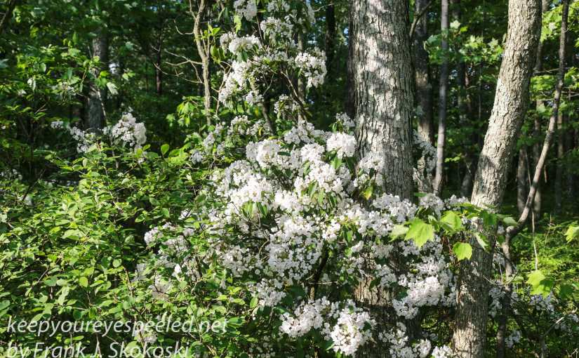 I Finally Found Some  Mountain Laurel, Almost In My Own Back Yard At Nearby  Community Park.