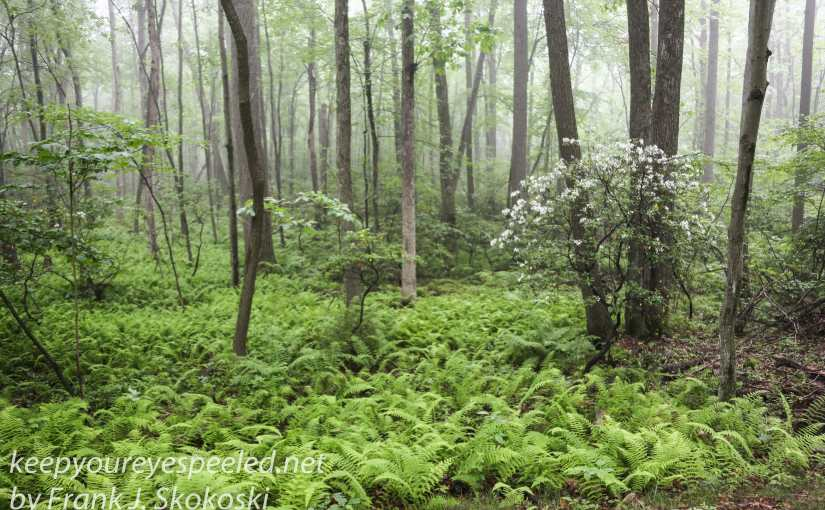 In Search Of Mountain Laurel On The Last Weekend Of Spring.