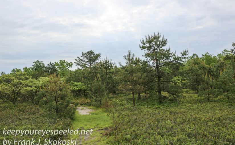 A Walk Through The Pitch Pine And Scrub Oak Barrens Near The Rails To Trails.