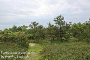 pitch pine barrens -8