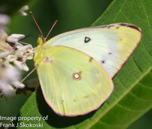 cloudless sulphur butterfly on milweed flower