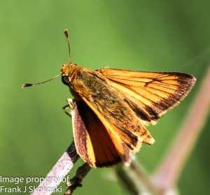firey skipper butterfly