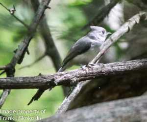 titmouse on tree branch