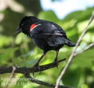 red winged blackbird on branch