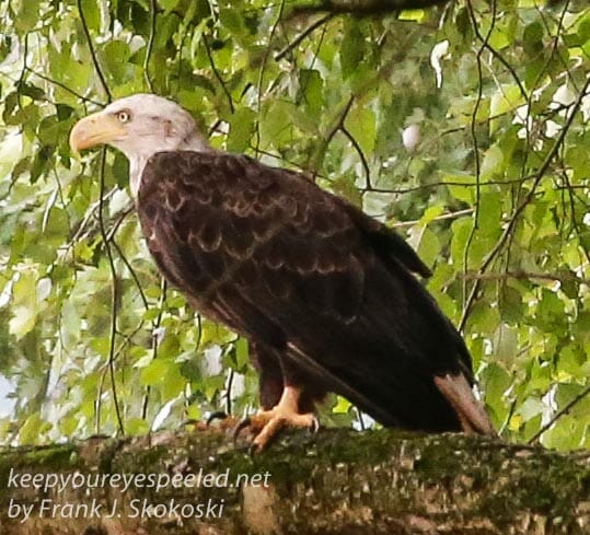 Bald Eagle At The PPl Wetlands. Always A Magical Momment.