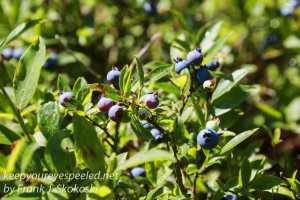 highbush blueberries or swampers