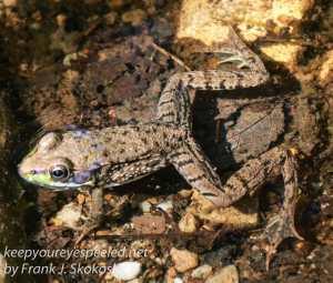 frog in stream