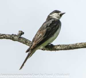 kingbird on branch