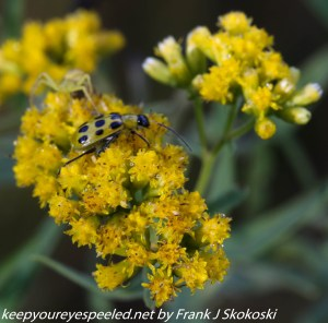 insect on ragweed flower