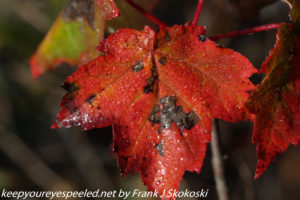 maple leaf turning red