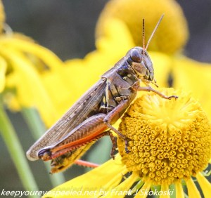 grasshopper on yellow flower