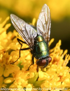 fly sitting on ragweed