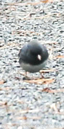 junco on trail