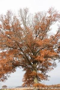 large red oak tree