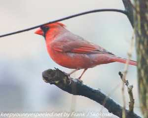 male cardinal on tree branch