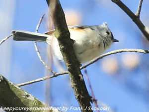 tufted titmouse in tree