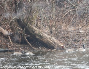 Canada geese in lehigh river