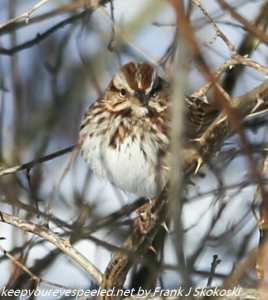 sparrow in brush