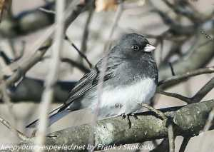 junco on branch