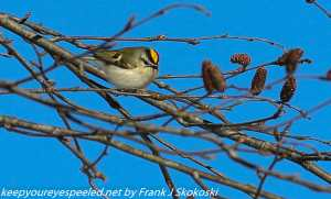 golden crowned kinglet in tree branch