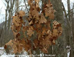 brown oak leaves