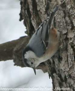 nuthatch on tree trunk