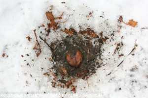 acorn  in snow