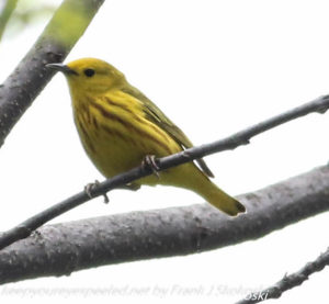 yellow warbler on tree branch