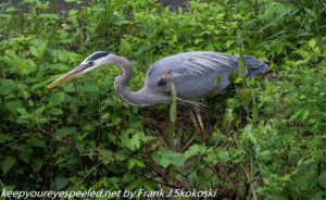 great blue heron along canal
