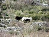 Άγρια άλογα Αίνου