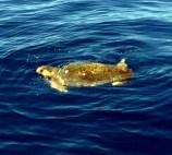 Διάσωση βαριά τραυματισμένης θαλάσσιας χελώνας