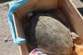 Πρώτες βοήθειες και διακομιδή τραυματισμένης χελώνας
