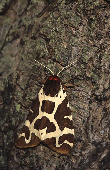 Garden Tiger Moth - https://upload.wikimedia.org/wikipedia/commons/d/df/Arctia_caja_%28Marek_Szczepanek%29.jpg