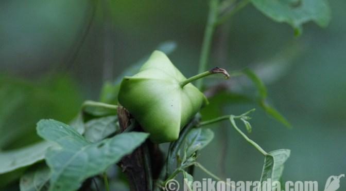 ペルー原産植物の特許申請 国外で1万1690件