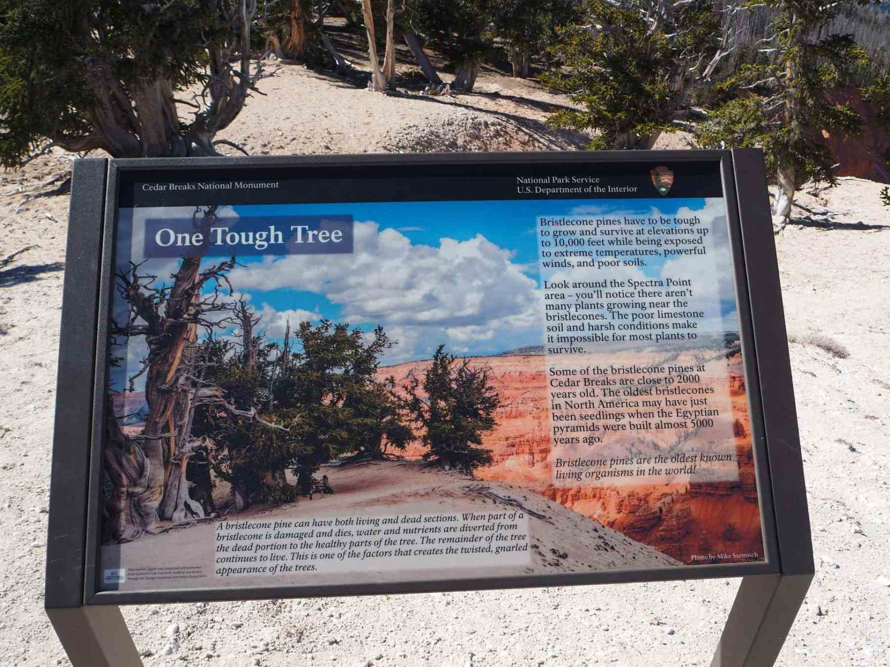 Info on Bristlecone pines