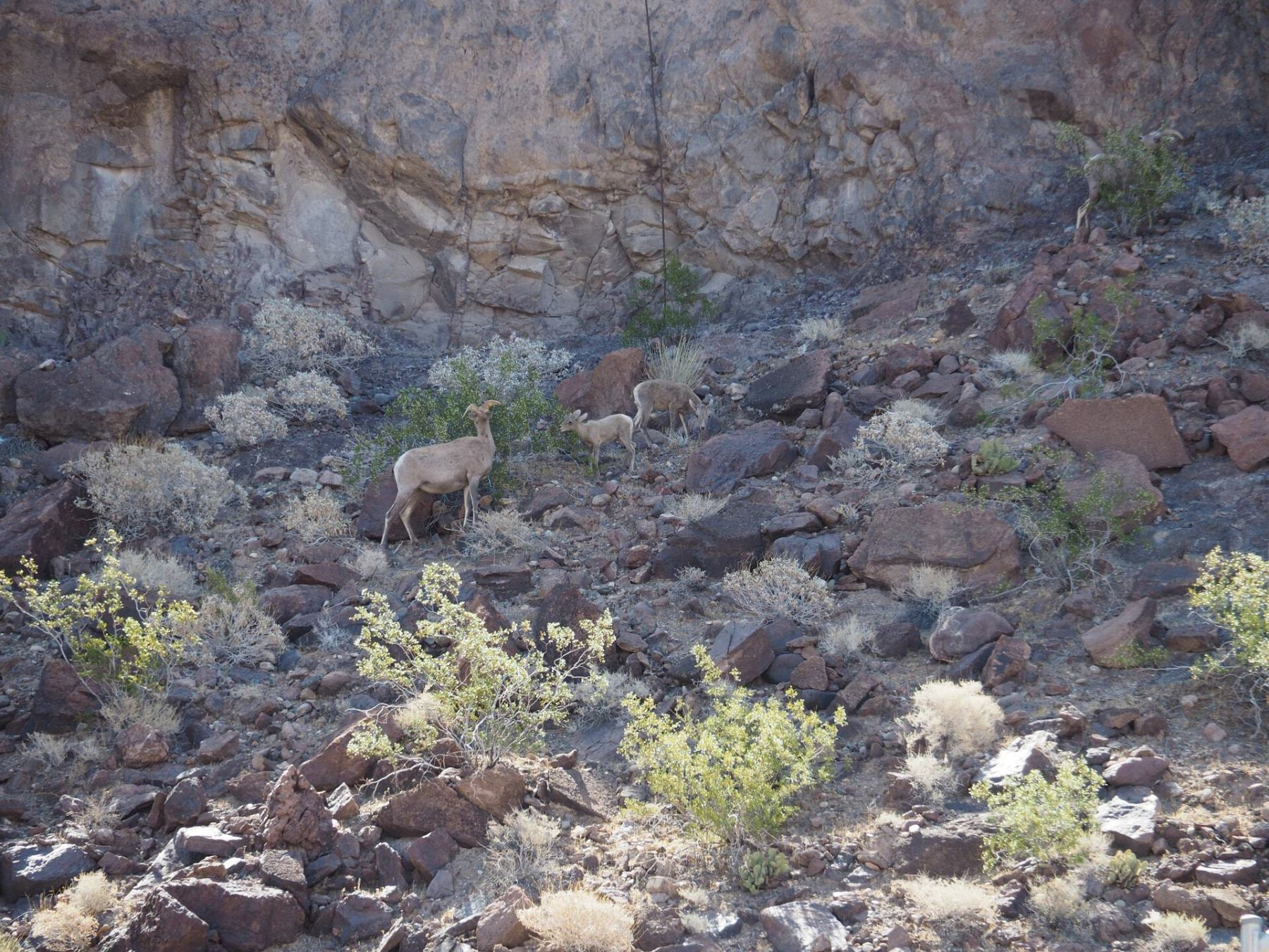 Wildlife near the Hoover Dam