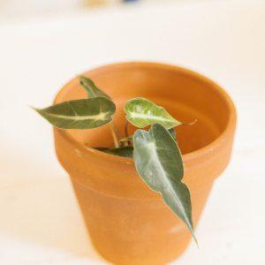 Alocasia Bambino plug plant