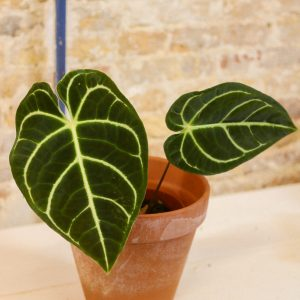 Anthurium regale small