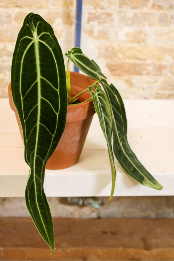 anthurium warocqueanum, rare aroid