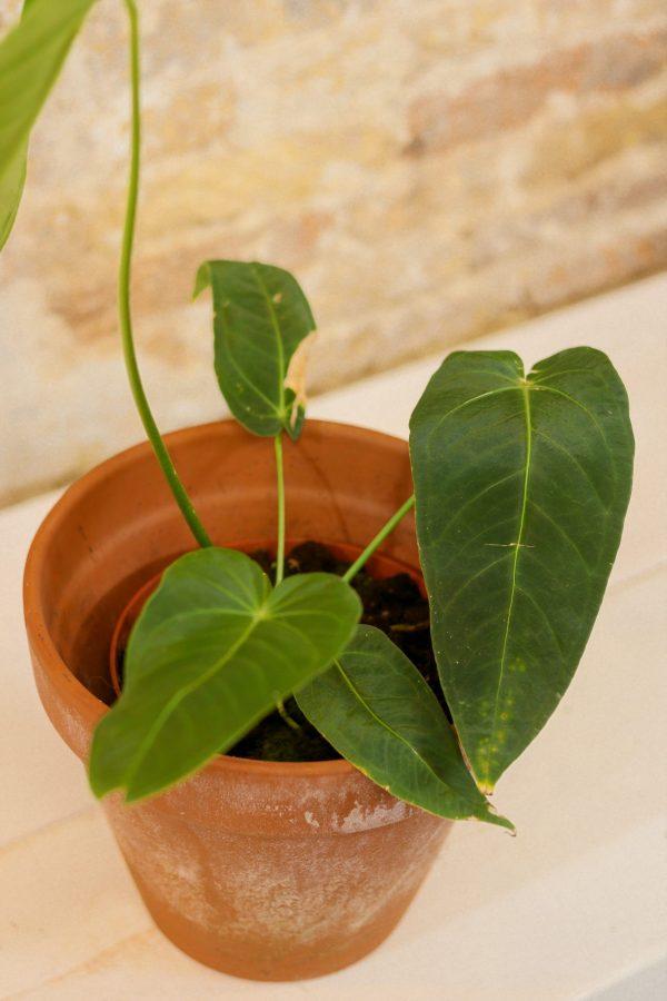 anthurium waterburyanum, rare aroid