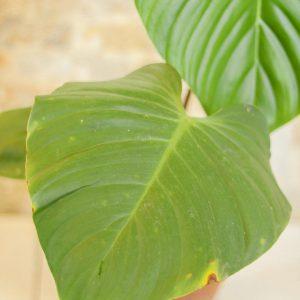 Philodendron Nangaritense B