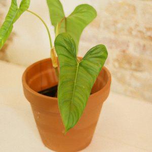 Philodendron pinnatilobum A