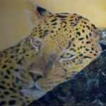 Leopard - chalk pastels - Kelly Goss